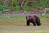 """Grizzly Stroll"" - Alaska"