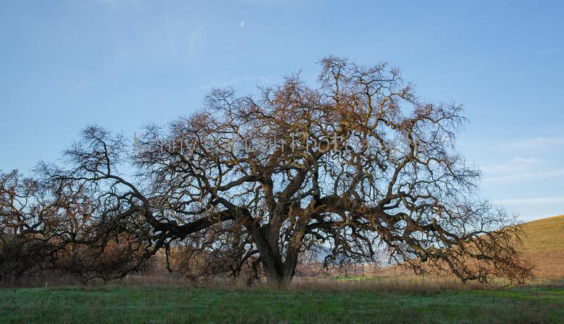 2-13 20 Bruces Oak Tree-9493