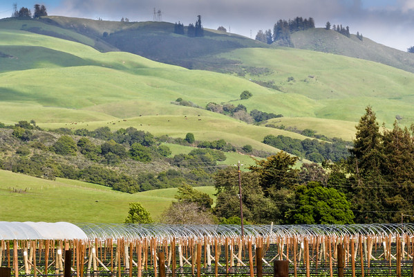 Newly Planted Vineyard and Rolling Green Sunlit Hills Behind