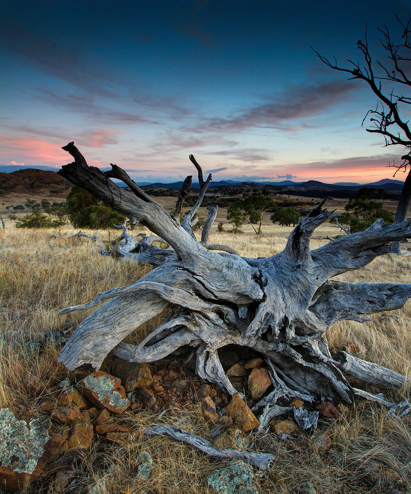 Tree Roots and sunset