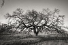 2-13 20 Bruces Oak Tree--3