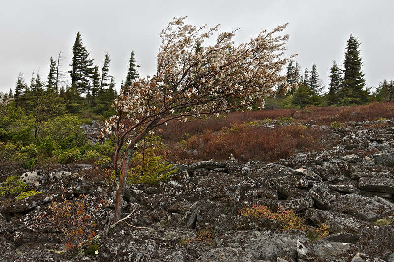 Boulders, spruces and lichens, Dolly Sods Wilderness, Monongahela National Forest