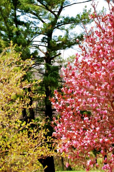 05 March 2009 Landscapes - Tulip Tree (topaz simplify buzsim)