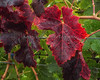 Napa_and_Sonoma_RainNovember_17,_20121N5A6618untitled