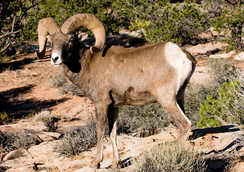 Big Horn Sheep out west.