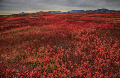 Autumn in the berry barrens