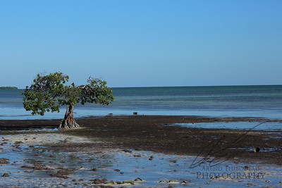 Red Mangrove on shoreline