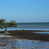 Red Mangrove on shoreline