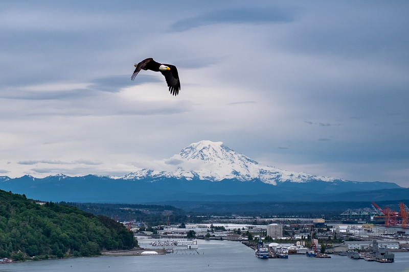 American Bald Eagle over Commencement Bay, Tacoma, Wa. Mt. Rainer in the distance.