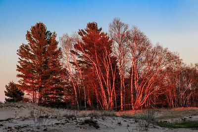 Evening Sun on Birch Trees