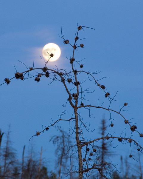 Moonrise over the blueberry patch - Rice lake - August 2008
