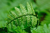 Fern frond in Joyce Kilmer Forest; Graham County, NC May, 2009