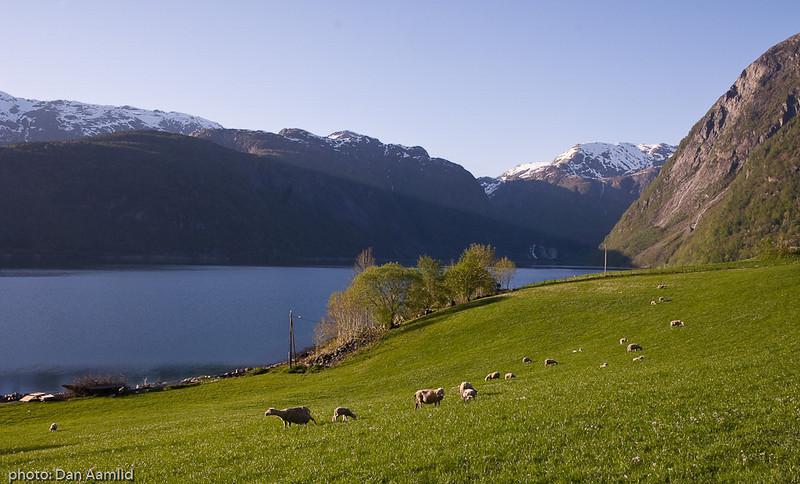 Sau på vårbeite, Løfallstrand, Hardangerfjorden