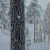 Scots pine in winter, Norway 2006