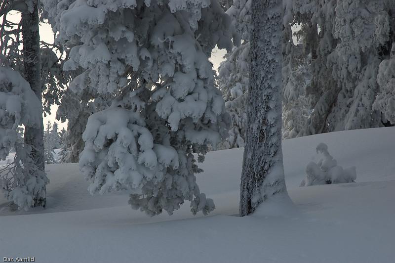 Scots pine in winter, Norway 2006