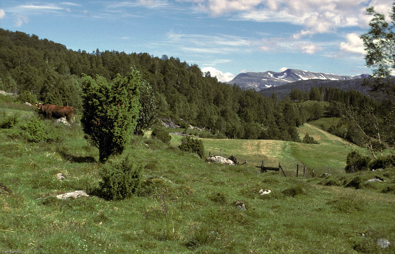Kulturlandskap med kyr og beitemark, Fjaler, Sunnfjord.