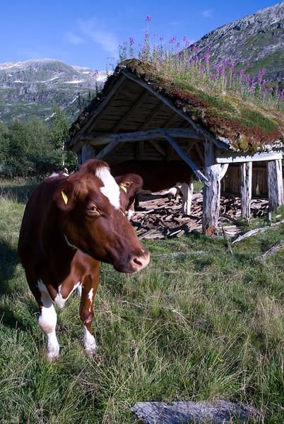 Ku på utmarksbeite, Haukedalen,Sunnfjord