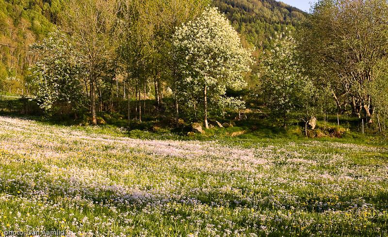 Blomstereng, Løfallstrand, Hardanger, mai08.