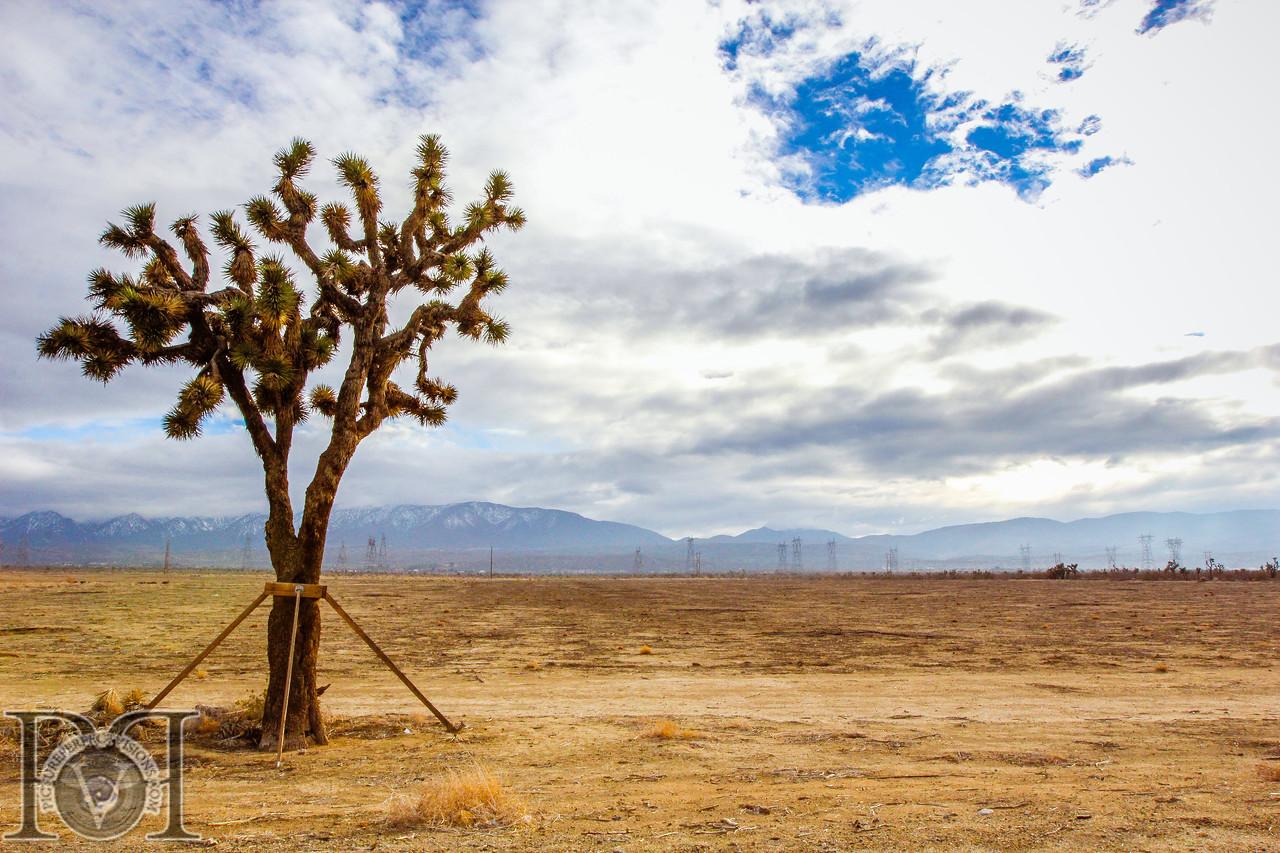 Yucca Brevifolia (Joshua Tree) Mojave Desert