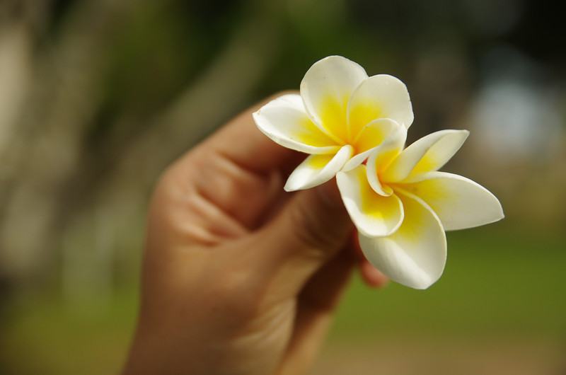 The nationalflower of Lao P.D.R: Dok Champa