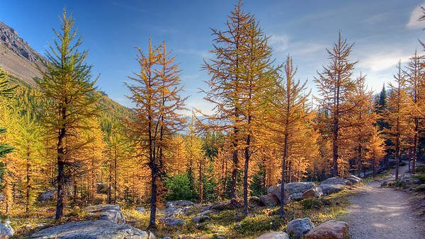 Larch Trail Banff Park