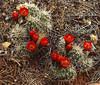 Cactus flowers, Mojave Desert