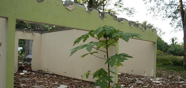 Papaya tree growing