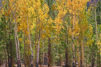 A grove of quaking aspen trees show their fall colors at Lassen Volcanic National Park.