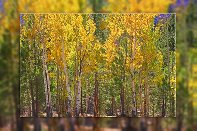 A grove of quaking aspen trees show their fall colors at Lassen Volcanic National Park. This image has a diffused border which adds an illusion of depth when printed on gallery-wrapped canvas.