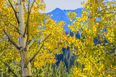 Lassen Peak, rising to an elevation of 10,457 feet above sea level, is framed by a shimmering grove of quaking aspen trees on an October afternoon.