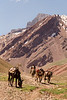 An Argentine porter herds a small group of mules down Valle de los Horcones Inferior from the Cerro Aconcagua base camp.  Cerro Aconcagua (which can be seen in the background) sits at an altitude of 22,841 ft and is the highest peak in both the Western and Southern Hemispheres.  The climb to the summit is highly technical and can take up to two weeks.