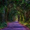 Tree-Tunnel-Big-Island-Hawaii_D811932-Fine-Art-Photography-Long-Road-green