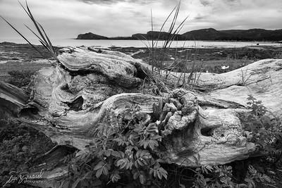 Old driftwood log