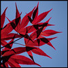 Rote Zier-Ahornblätter