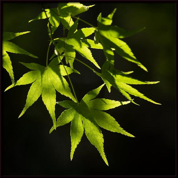 Grüne Zier-Ahornblätter