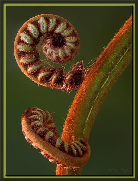 Fern Leaf Buds