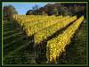 Weinstöcke in Reih und Glied