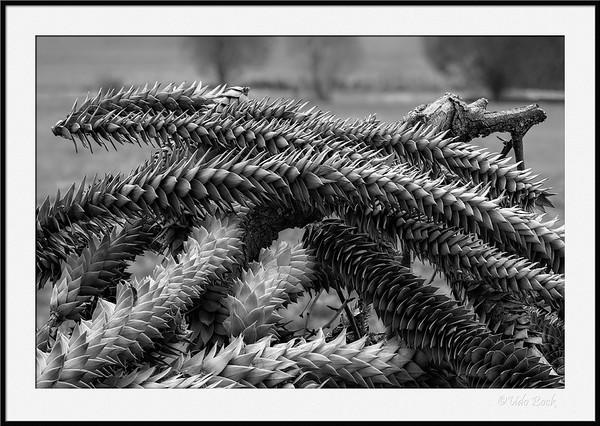 Schuppige Baumschlangen