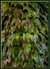 Blätterwand