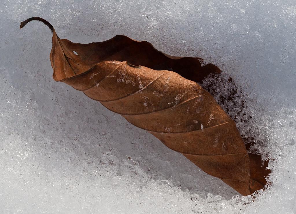 Beech shovel in snow