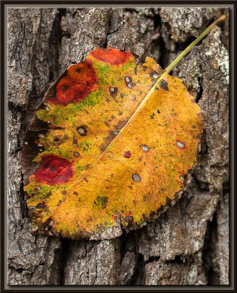 Herbstliches Blatt vom Birnbaum