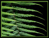 Fern Patterns