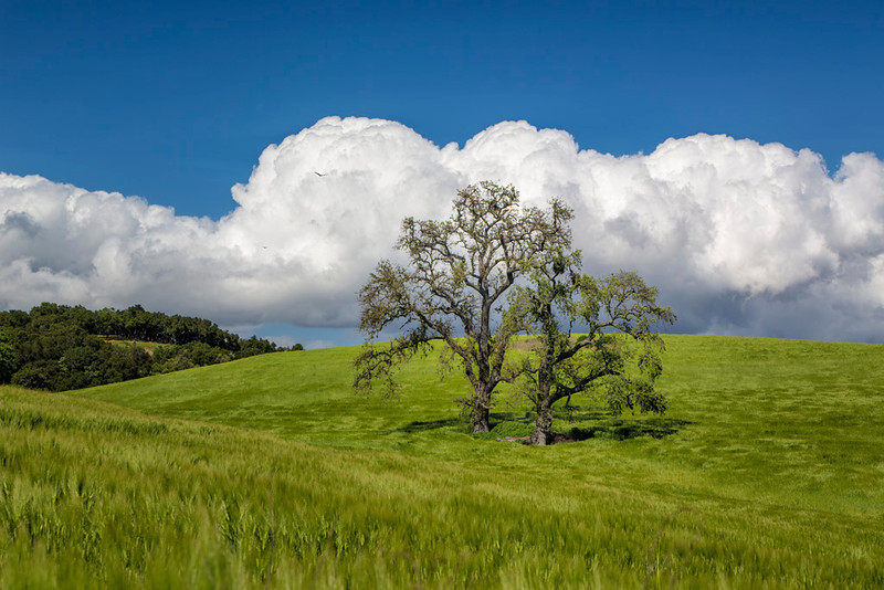 My favorite Oak Tree<br /> Paso Robles, California