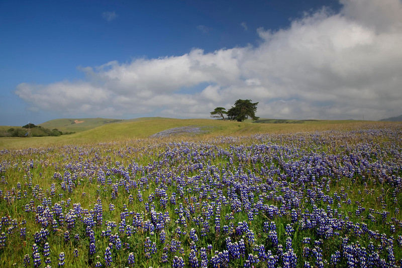 Lupins along the Central Coast of California