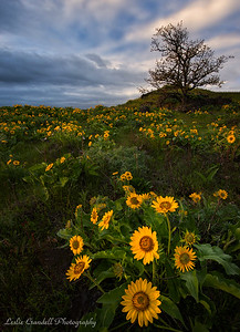Hill of Blooming Balsamroot