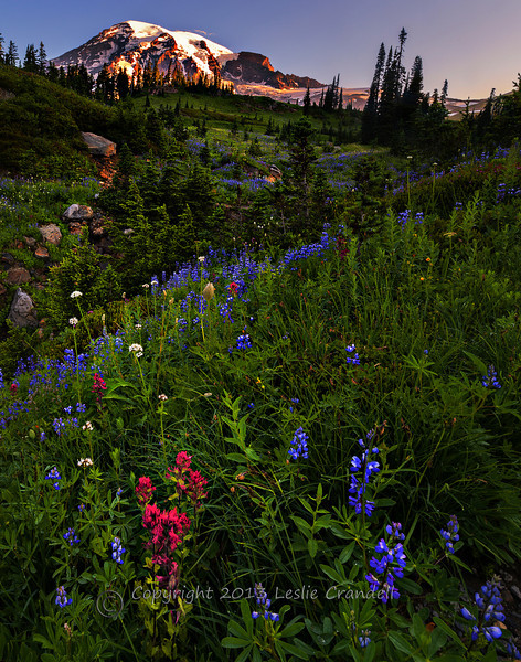 Indian Paintbrush and Lupine hillsides at Mt. Rainier National Park