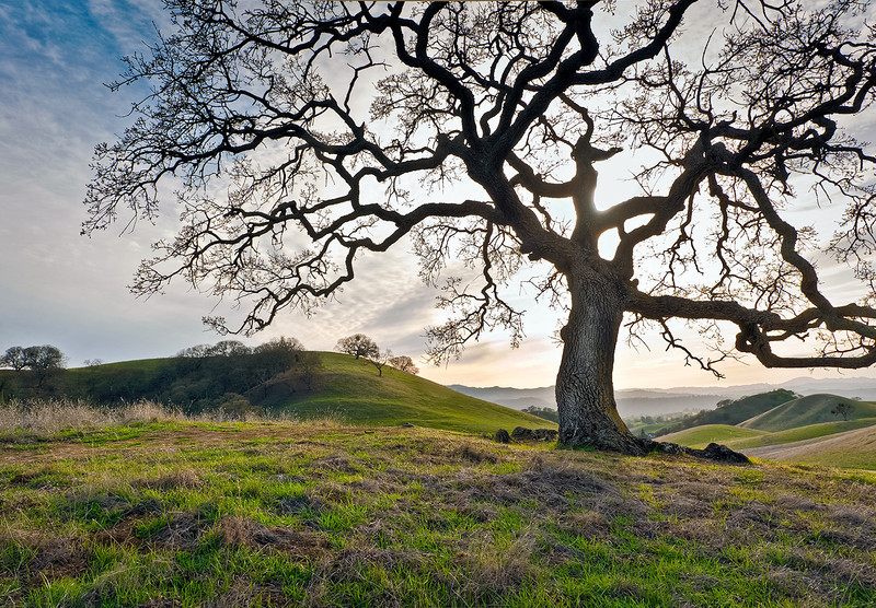 Majestic Oak in Diablo Foothills