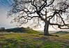 Majestic Oak in Diablo Foothills