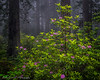 Blooming Rhodies in the Foggy Redwoods