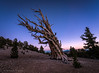 Early Evening at the Bristlecone Pines